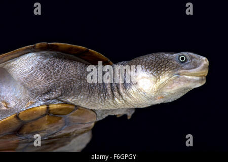 Reimann's snake-necked turtle (Chelodina reimanni) - Stock Photo