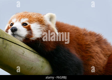 Close up image of a red panda looking bored - Stock Photo