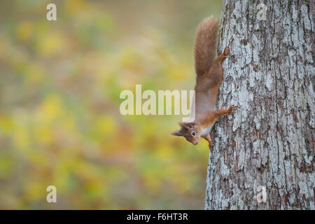 Red Squirrel (Sciurus Vulgaris) pictured clasping onto a Scots pine tree in a forest in the Cairngorms National - Stock Photo