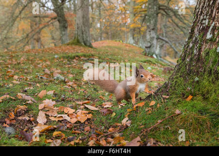 Red Squirrel (Sciurus Vulgaris) pictured stood in a forest in the Cairngorms National Park, Scotland. - Stock Photo