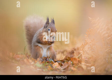 Red Squirrel (Sciurus Vulgaris) pictured eating a nut in a forest in the Cairngorms National Park, Scotland. - Stock Photo