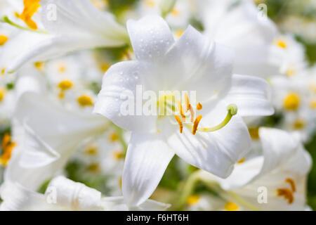 Macro of a white Madonna Lily - Stock Photo