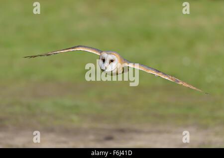 Schleiereule, Tyto alba, Barn Owl - Stock Photo