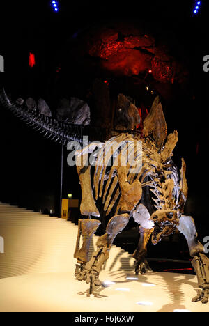 A Stegosaurus skeleton at the entrance to the Earth Hall inside the Natural History Musuem, London UK - Stock Photo
