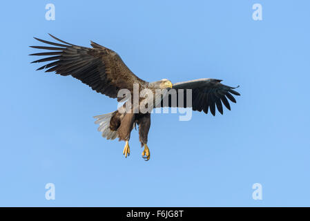 Seeadler, Haliaeetus albicilla, White Tailed Eagle - Stock Photo