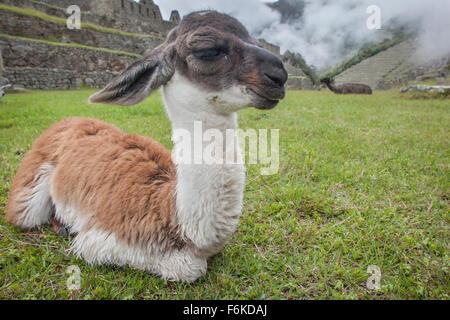 A young llama (cria) rests in front of ancient Incan ruins at Machu Picchu, Peru. - Stock Photo