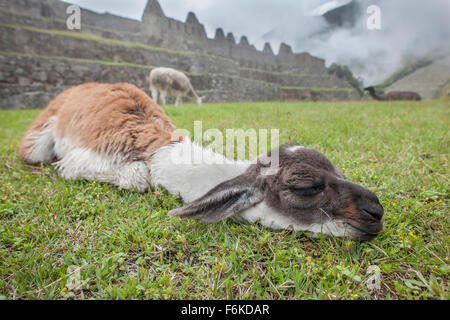 A young llama (cria) dozes in front of ancient Incan ruins at Machu Picchu, Peru. - Stock Photo