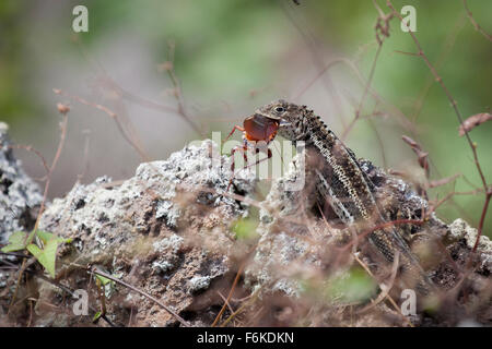 Galapagos lava lizard (Microlophus albemarlensis) eating a cockroach. - Stock Photo