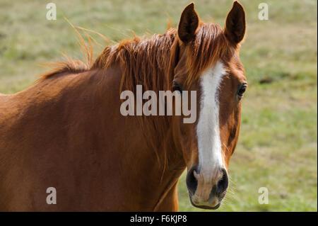 Mustang horse portrait closeup looking at camera - Stock Photo