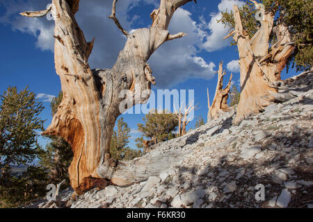 Ancient bristlecone pine trees. Patriarch Grove, Ancient Bristlecone Pine Forest, California, USA. - Stock Photo