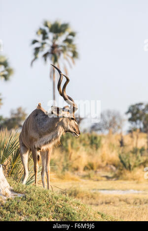African wildlife: Male greater kudu (Tragelaphus strepsiceros) with impressive horns, Nxabega Concession, Okavango - Stock Photo