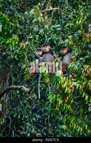 Red-shanked douc family group feeding in the canopy at Son Tra nature reserve in Vietnam - Stock Photo