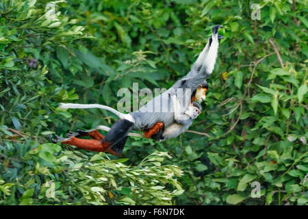 Mother and baby Red-shanked douc leaping through the canopy at Son Tra nature reserve in Vietnam - Stock Photo