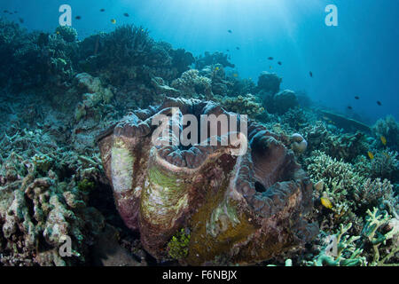 A giant clam (Tridacna gigas) grows on a reef in Raja Ampat, Indonesia. This is the largest species of bivalve in - Stock Photo