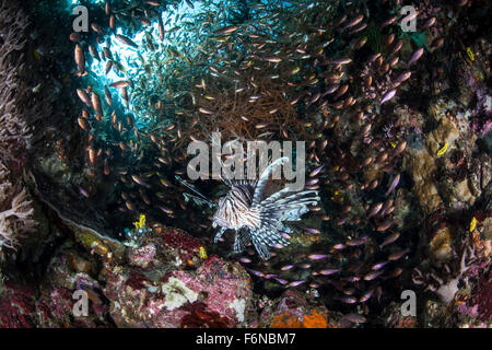 Lionfish (Pterois volitans) hunts for prey on a colorful coral reef in Komodo National Park, Indonesia. This fish - Stock Photo