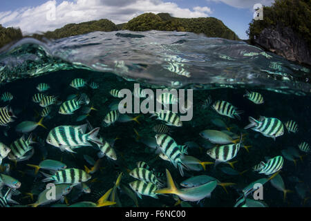 School of large damselfish in Palau's inner lagoon. This Micronesian destination is popular among scuba divers and - Stock Photo
