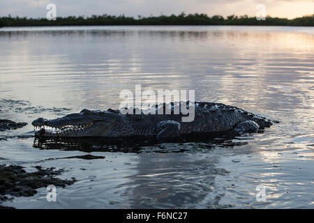 A large American crocodile (Crocodylus acutus) surfaces in a lagoon in Turneffe Atoll, Belize. This potentially - Stock Photo