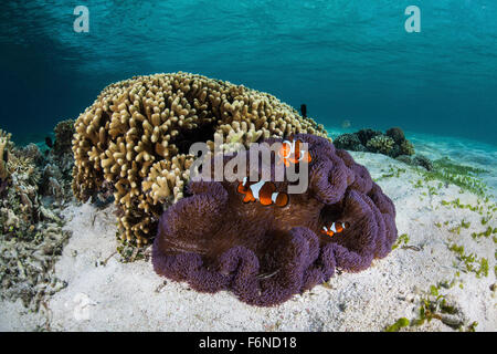 False clownfish (Amphiprion ocellaris) swim near their host anemone in Alor, Indonesia. This remote region is known for its beau