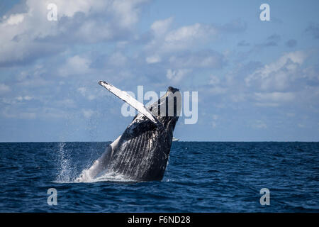 A large humpback whale (Megaptera novaeangliae) breaches out of the Atlantic Ocean. Why these huge whales breach, - Stock Photo