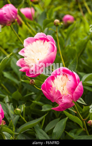 Peonies Bowl of Beauty AGM in early summer