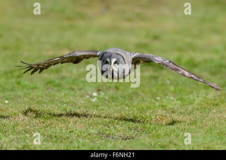 Bartkauz, Strix nebulosa, Great gray owl - Stock Photo