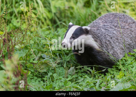 Europaeischer Dachs, Meles meles, European Badger - Stock Photo