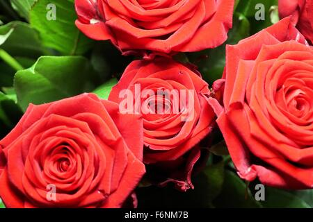 Close up of a bunch of red roses in the garden - Stock Photo