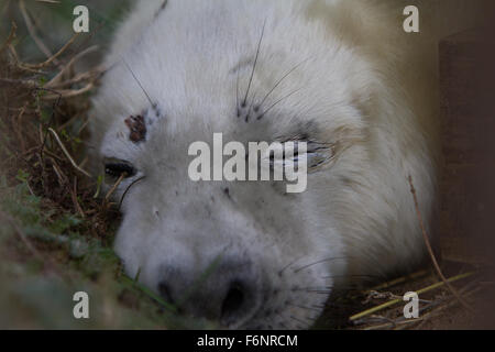 Atlantic Grey seals return to Donna Nook Nature Reserve, Lincolnshire, UK to have their pups. - Stock Photo
