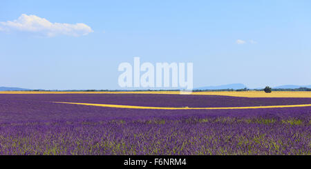 Lavender flowers blooming field, wheat lines and trees. Panoramic photography in plateau de Valensole, Provence, - Stock Photo
