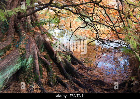 Metasequoia glyptostroboides. Dawn Redwood tree in autumn at RHS Wisley Gardens, Surrey, England - Stock Photo