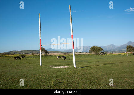 Cattle grazing on the village rugby pitch at Macassar near Somerset West in the Western Cape South Africa - Stock Photo