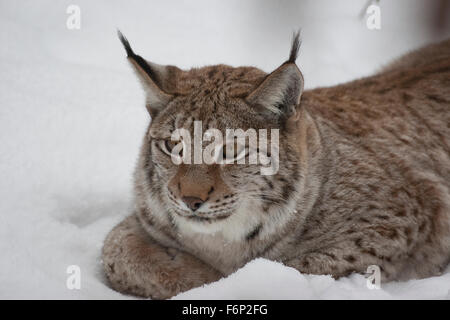 Eurasian lynx, snow, Luchs, Nordluchs, Nord-Luchs, Eurasischer Luchs, Winter, Schnee, Lynx lynx, Felis lynx, Lynx - Stock Photo