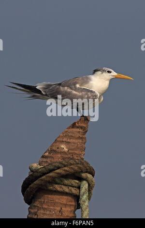 Greater Crested Tern (Thalasseus bergii) - Stock Photo