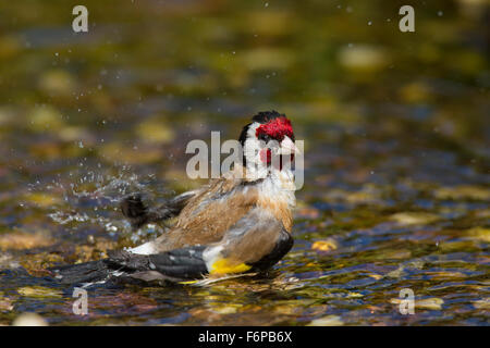 European goldfinch (Carduelis carduelis) cleaning feathers by bathing in puddle - Stock Photo