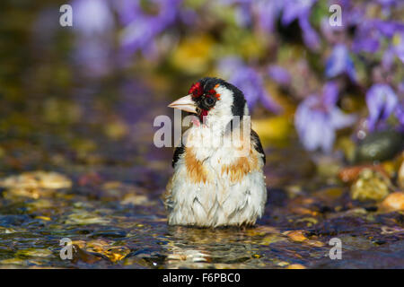 European goldfinch (Carduelis carduelis) cleaning feathers by bathing in shallow water of brook - Stock Photo