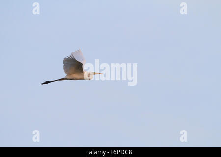 Great Egret (Casmerodius albus) in flight. Hula Valley. Israel. - Stock Photo