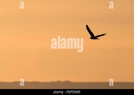 Western Marsh-harrier (Circus aeruginosus) flying at dusk. Israel. - Stock Photo