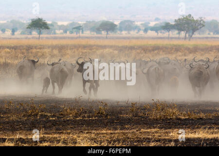 African bison stampede away in a dust cloud, photograph taken on safari in Tanzania - Stock Photo