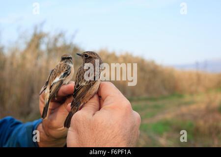 Siberian Stonechat (Saxicola maurus) on left hand and Common Stonechat (Saxicola torquata) on right hand. Agamon - Stock Photo
