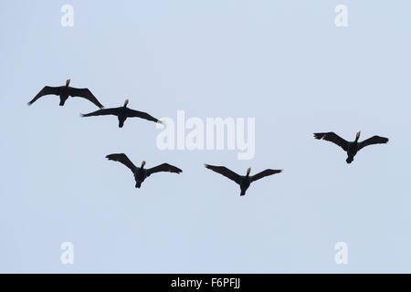 Great Cormorant (Phalacrocorax carbo) group in flight. Israel. - Stock Photo