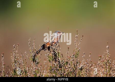 Male Dartford Warbler (Sylvia undata) on heather at Hurn, Dorset - Stock Photo
