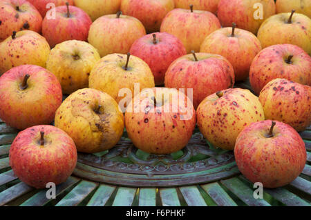 """Ripe eating apples, the sweet delicious fruit of the Apple tree """"Malus domestica"""", laid out on a metal garden table. - Stock Photo"""