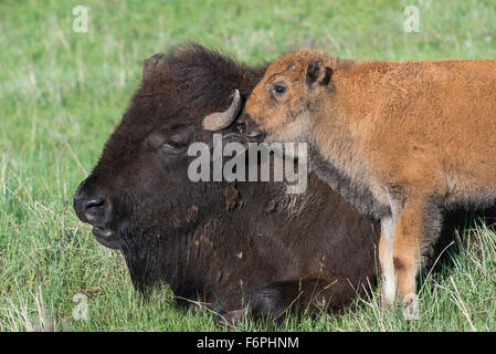 American Bison (Bison bison) parent with calf, Western USA - Stock Photo