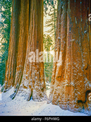 Sequoia images in snow, Sequoia National park, California, Sierra Nevada Mountains, World's largest trees - Stock Photo