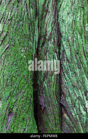 Abstract image of bark on a Western Red Cedar tree in a temperate rain forest - Stock Photo