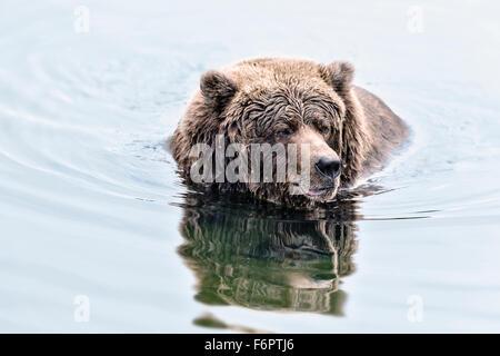 Coastal Brown Bear Fishing For Salmon in Katmai National Park, Alaska - Stock Photo