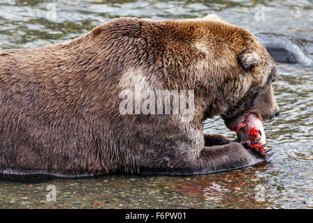 The adult male brown bear, 'Spot', feasting on his freshly caught salmon complete with roe - Stock Photo