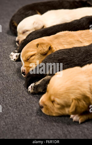 4 day old newborn multi-colored puppy dogs sleeping lined up in a row indoors laying on short carpet - Stock Photo