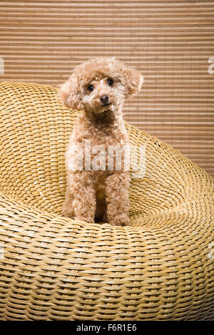 Apricot colored miniature poodle sitting upright in circular wicker chair of same color facing camera with eye contact - Stock Photo