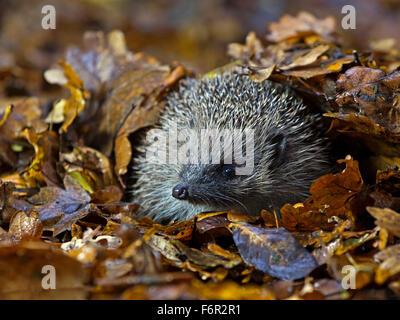 European hedgehog in Autumn leaves - Stock Photo